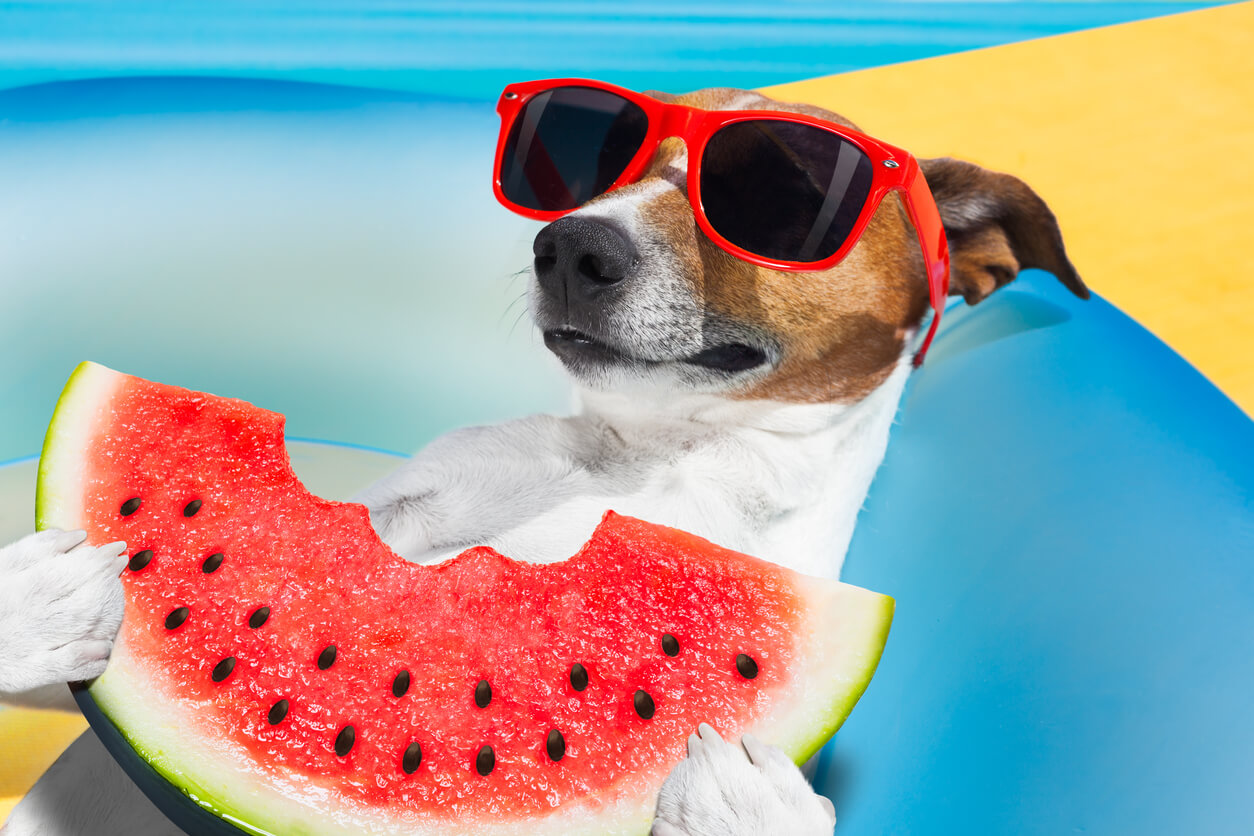 jack russell dog on a mattress relaxing on summer vacation holidays, eating a fresh juicy watermelon, by the beach