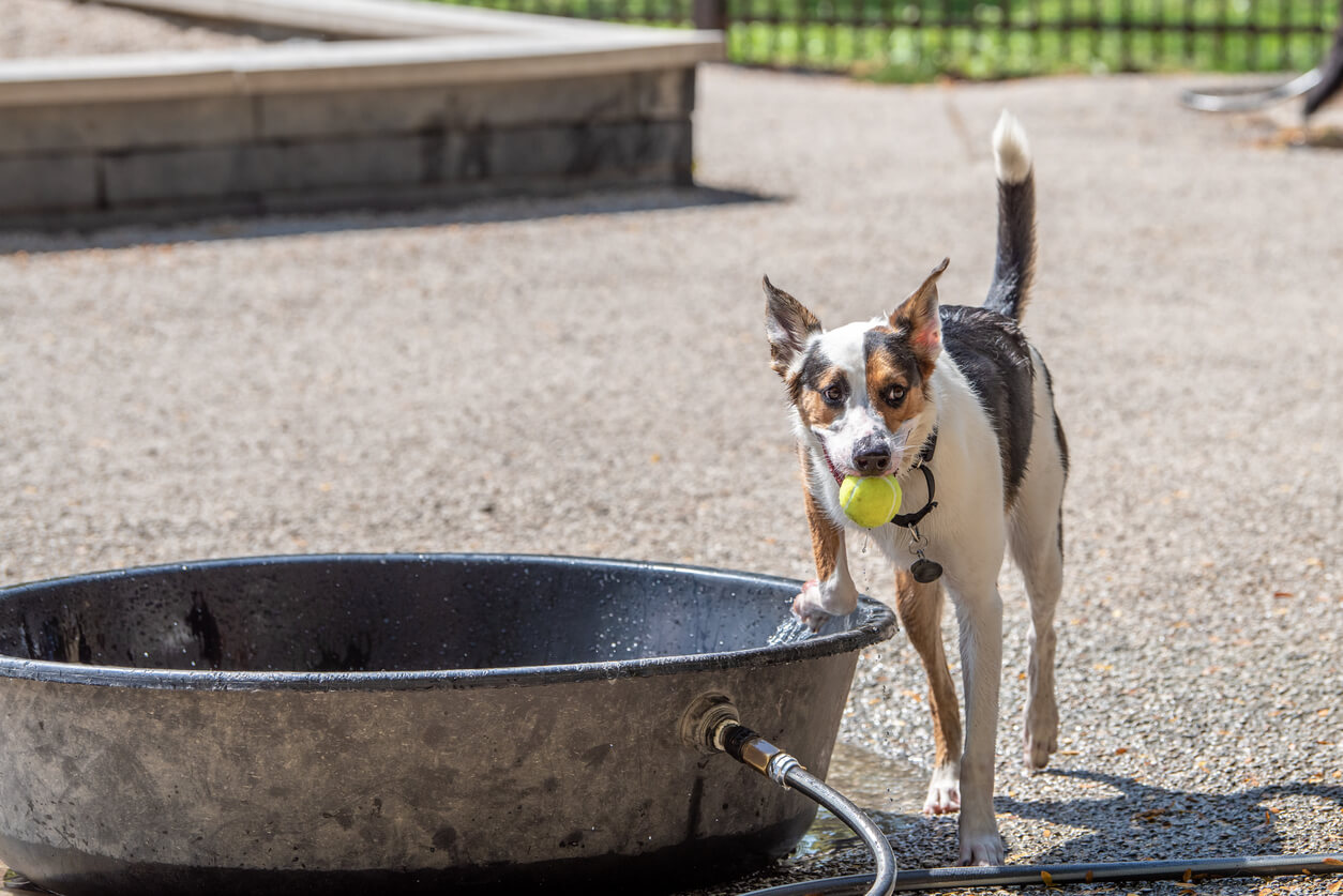 A dog plays in and around a big metal tub filled with water, on a hot summer day, in a dog park in the city.