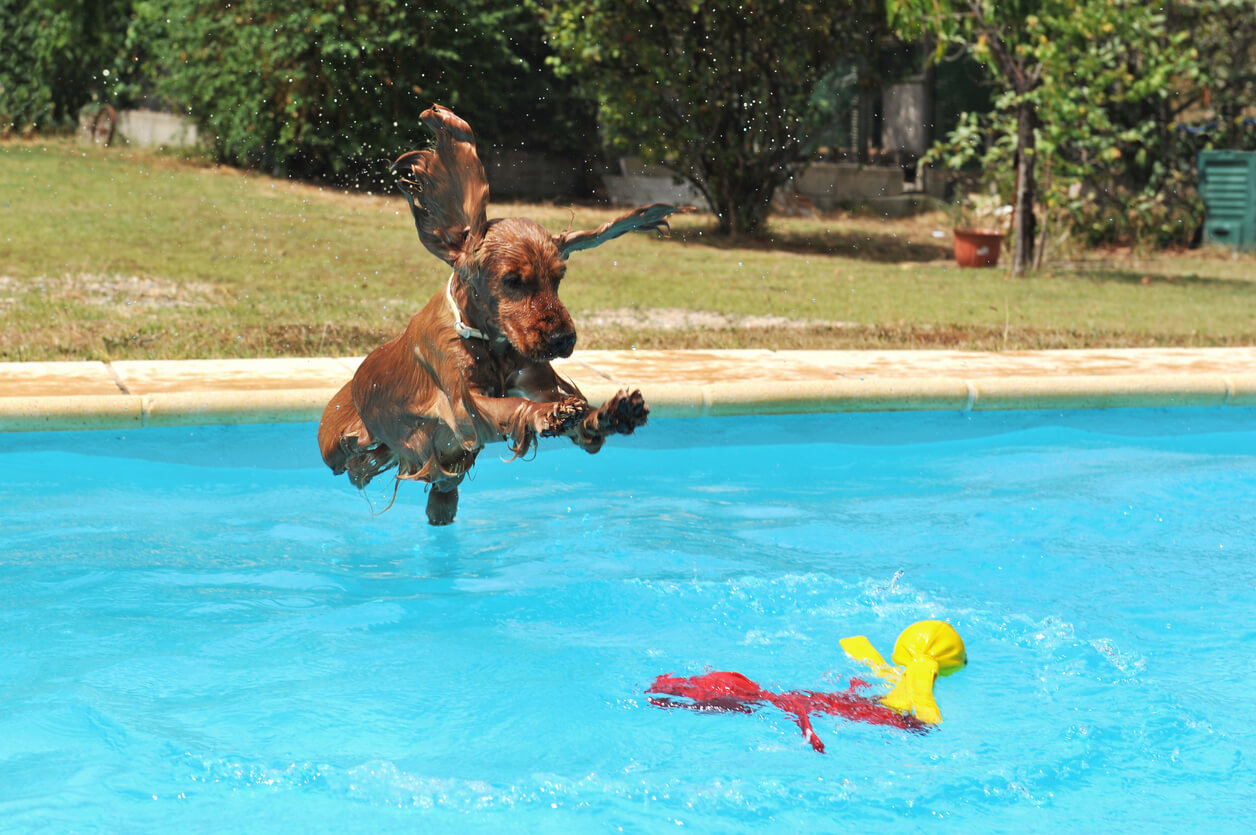 Cocker Spaniel jumping into a swimming pool
