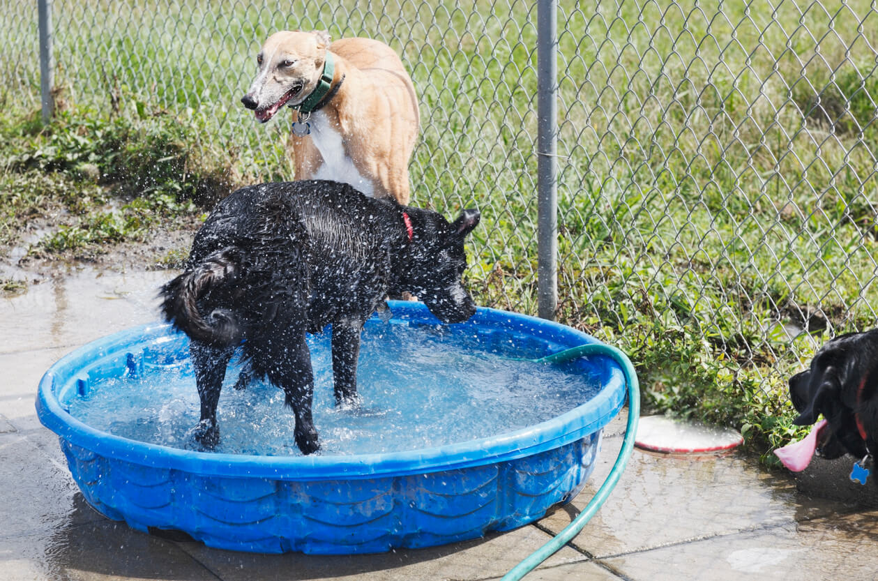 Dogs cooling off in dog park wading pool. Horizontal.