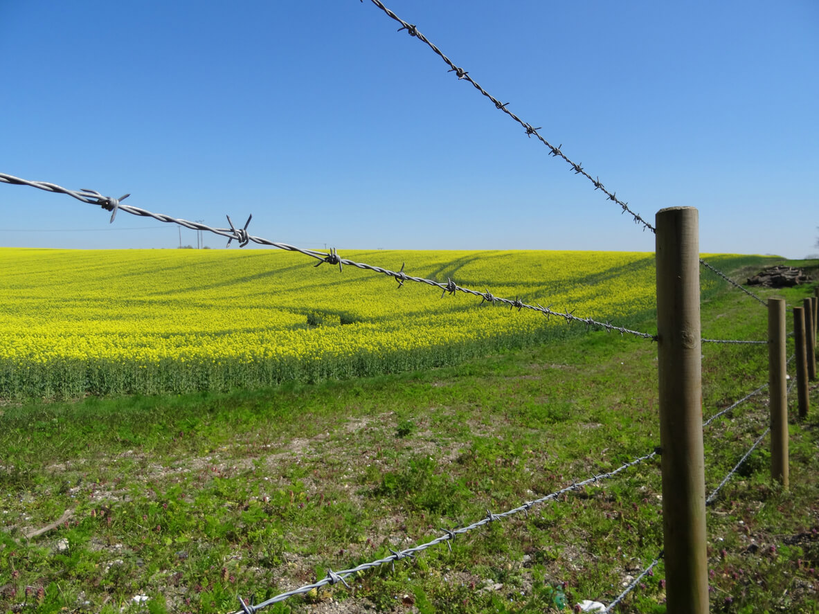Photo showing an agricultural field of flowering oilseed rape (also known as rape seed oil, rapa, rapaseed, brassica napus, rappi and canola), with three lines of barbed wire in the foreground.