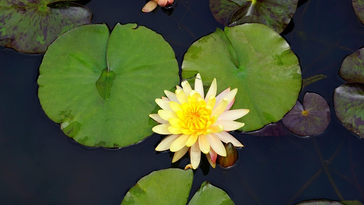 Yellow Water Lily in Pond