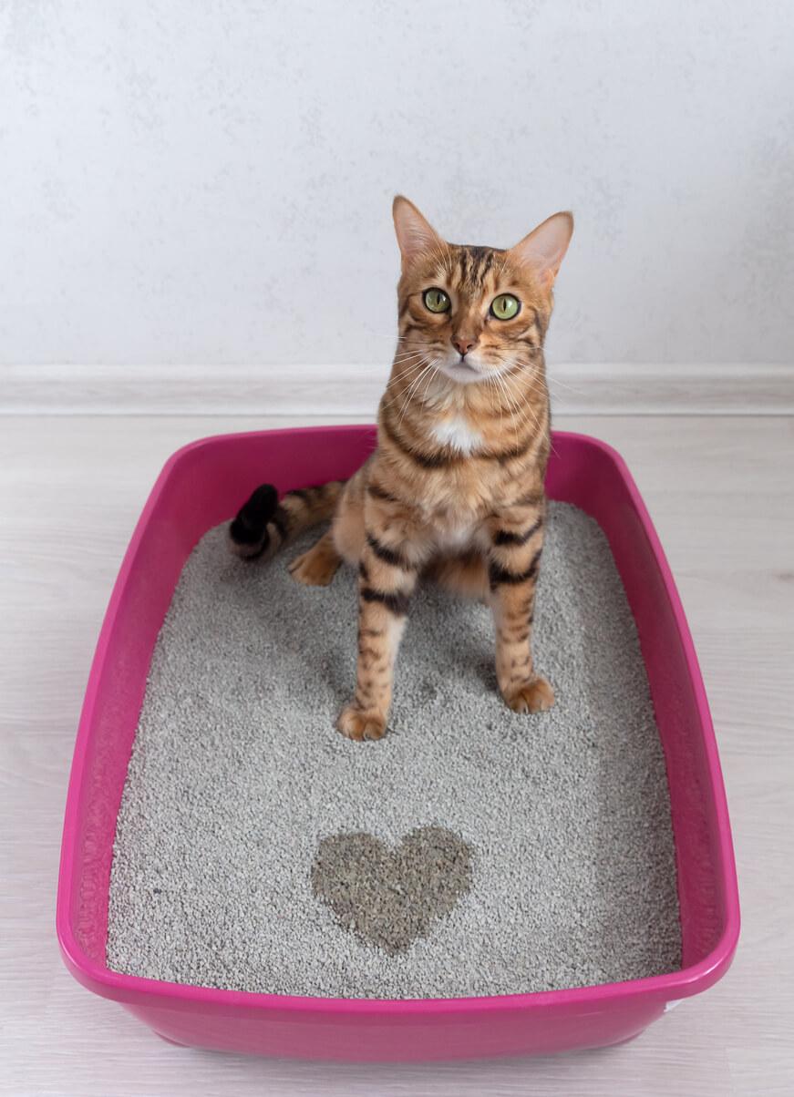 Bengal Cat in a Litter Box